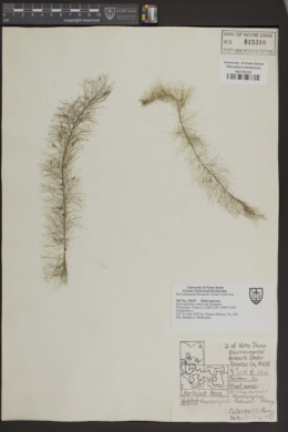 Image of Myriophyllum farwellii