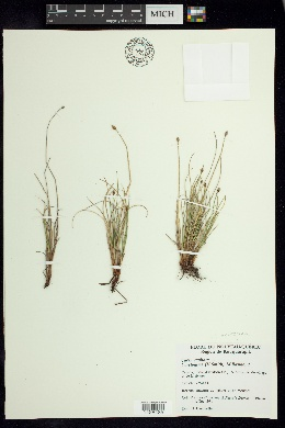 Image of Carex arctogena