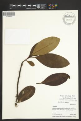 Image of Myrsine umbellata
