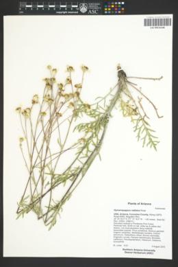 Hymenopappus radiatus image