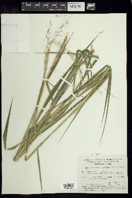 Image of Leersia ligularis