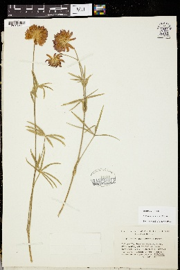 Trifolium thompsonii image