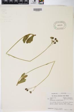 Hieracium aurantiacum image