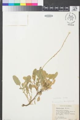 Image of Hirschfeldia incana
