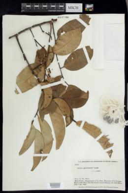 Image of Prunus guanaiensis