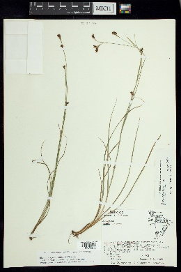 Image of Rhynchospora rosae