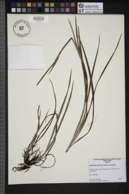 Image of Sisyrinchium arenarium