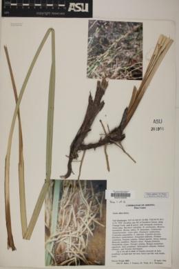 Carex ultra image
