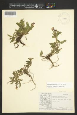Oenothera pubescens image