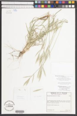 Brachypodium hybridum image