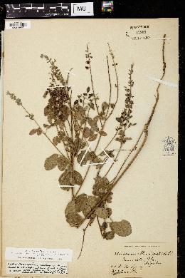 Image of Meibomia obtusa