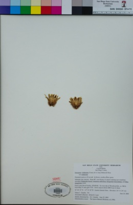 Ferocactus viridescens var. viridescens image