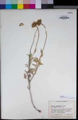 Encelia actoni image