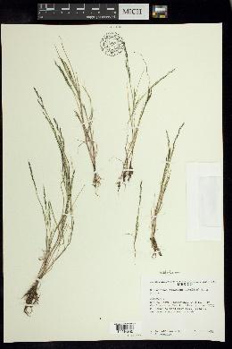 Image of Muhlenbergia decumbens
