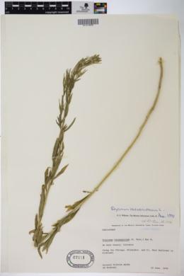 Image of Erysimum hieraciifolium