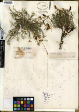 Astragalus salmonis image