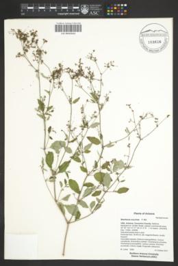 Boerhavia coccinea image