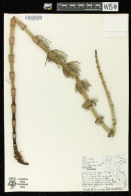 Image of Equisetum giganteum