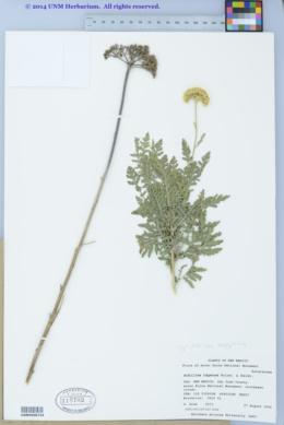 Image of Achillea aegyptiaca