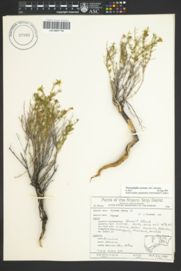 Thymophylla acerosa image