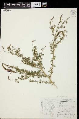 Image of Dalea tuberculata