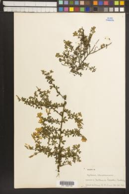 Genista canariensis image