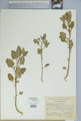 Image of Chenopodium mexicanum