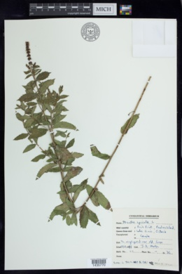 Mentha spicata image