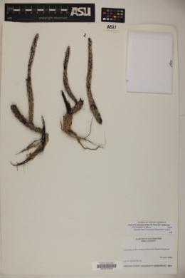 Corynopuntia marenae image