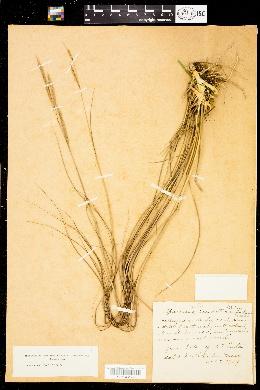 Image of Spartina caespitosa