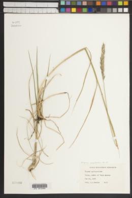 Elymus agropyroides image