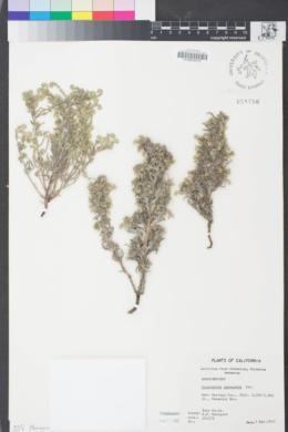 Image of Cryptantha inaequata