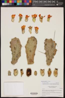 Image of Opuntia quimilo