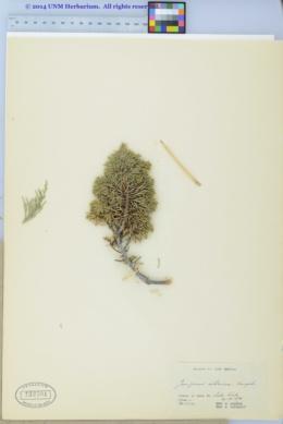 Juniperus sibirica image