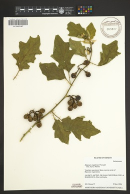 Image of Solanum madrense