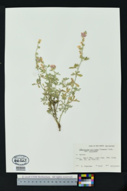 Sphaeralcea digitata subsp. digitata image