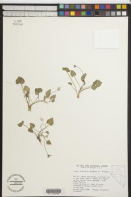 Viola lithion image