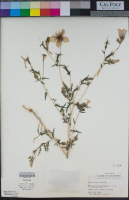 Mentzelia lindleyi image