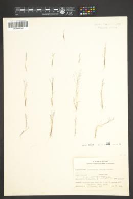 Muhlenbergia sinuosa image