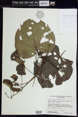 Image of Stigmaphyllon lacunosum