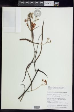 Banisteriopsis angustifolia image