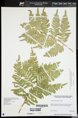 Pteridium latiusculum var. latiusculum image