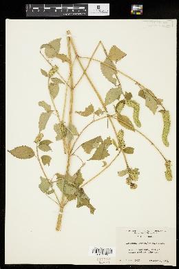 Agastache nepetoides image