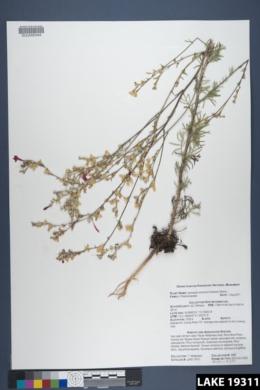 Ipomopsis arizonica image