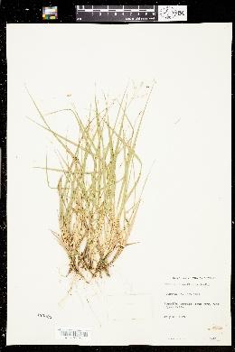 Image of Panicum depauperatum