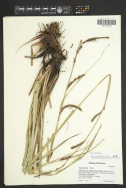 Carex spissa image