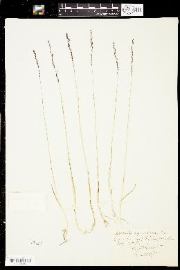 Image of Podagrostis aequivalvis