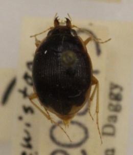 Image of Omophron labiatum
