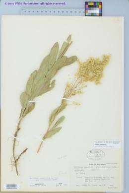 Image of Solidago capulinensis