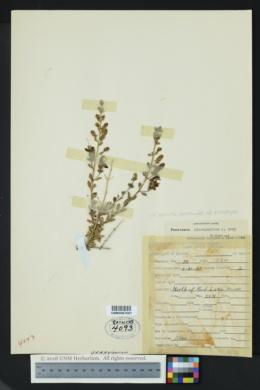 Keckiella antirrhinoides subsp. microphylla image